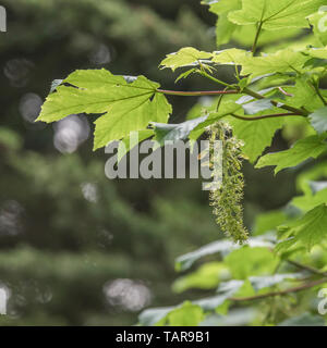 Foliage & leaves of flowering Sycamore / Acer pseudoplatanus tree. Sycamore is a member of the Maple family. Fruiting Sycamore seeds seen forming. - Stock Photo