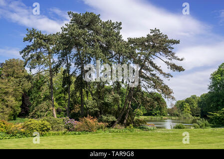 Austrian pine / black pines (Pinus nigra subsp. nigra) coniferous evergreen tree, native to Austria - Stock Photo