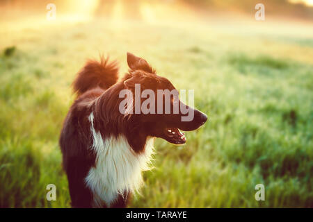 A purebred Border Collie dog without leash outdoors in nature in beautiful sunrise. Dog play and running in city park. Happy dog over a sunrise backgr - Stock Photo