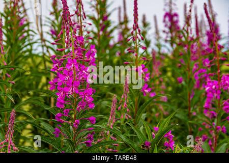 Flowering Rosebay willowherb, UK. July 2018. - Stock Photo