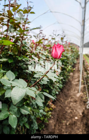 A red rose in a rose greenhouse - Stock Photo