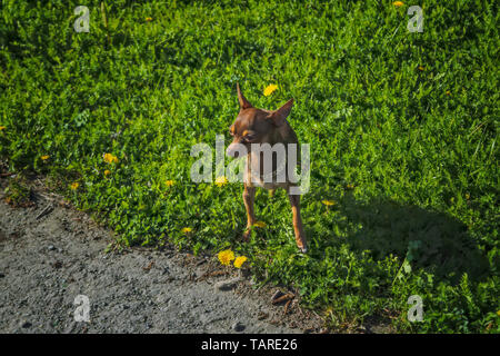 A small dog of brown color of the breed Prague Ratter on a walk in the park. - Stock Photo