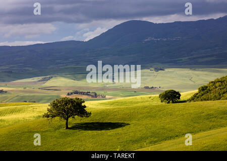 Isolated tree standing in green field, San Quirico d'Orcia, Siena Province, Tuscany, Italy, Europe - Stock Photo