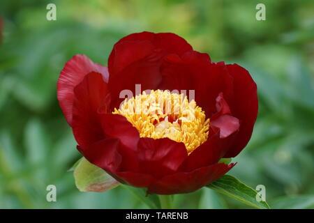 Peony Chervoni Vitryla.  Red peony flower. Paeonia lactiflora (Chinese peony or common garden peony). - Stock Photo