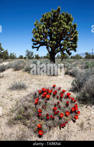 Joshua tree (Yucca brevifolia) and Claret cup cactus (Echinocereus triglochidiatus). Mojave National Preserve, California