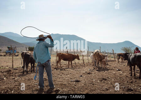 Farm life with cowherd trying to catch a baby cow with a lasso. Teotitlan del Valle, Oaxaca, Mexico. May 2019 - Stock Photo