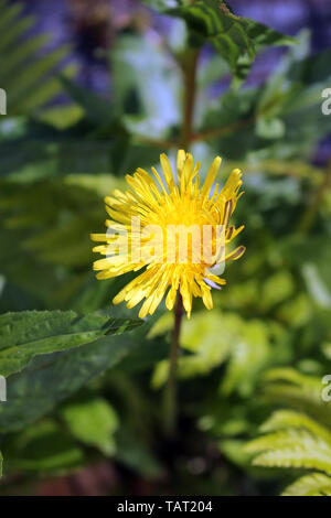 Taraxacum officinale or Common Dandelion Flower - Stock Photo