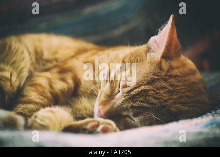 Portrait of a cute ginger cat who sleeps on a chair close up, toned