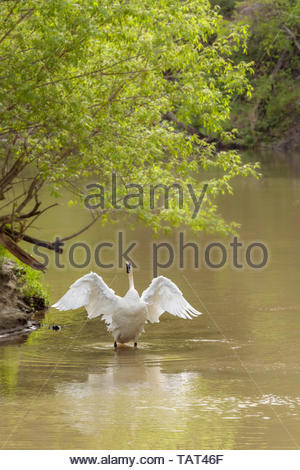 Trumpeter swan Cygnus buccinator on Rouge River in Rouge National Urban Park an urban wilderness in Toronto Ontario Canada. - Stock Photo