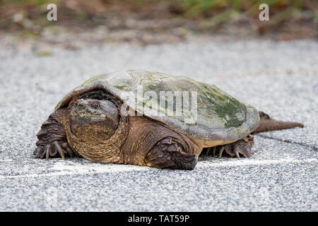 Portrait of a large common snapping turtle, Chelydra serpentina, crossing a highway in the Adirondack Mountains, NY USA - Stock Photo