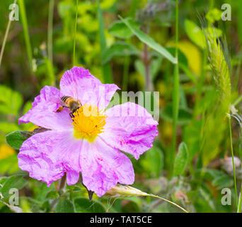 A honey bee collecting nectar on a pink flowering cistrose or rockrose (Cystus incanus  ssp. tauricus) or (Cistus creticus) - Stock Photo