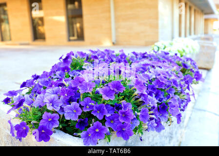 The lilac and violet flowers of petunia grow in a stone bed that stands on the sidewalk near a modern residential building. - Stock Photo