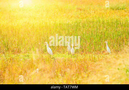 Group of white heron birds egret standing on yellow golden wheat rice field / Ardea alba - Stock Photo