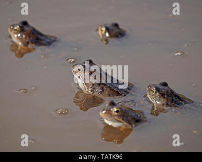 gathering of five European common frogs (Rana temporaria) with reflections in muddy upland breeding pool in Cumbria, England, UK - Stock Photo
