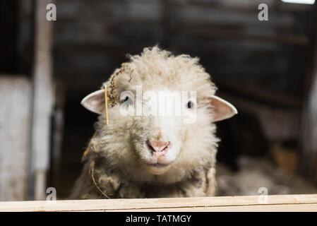 A cute little lamb looks into the camera. A sheep with plenty of wool looks into the camera on the uniform - Stock Photo
