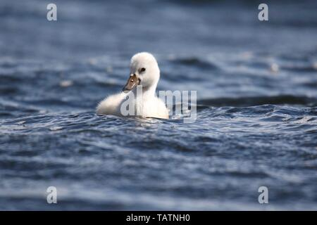 A fuzzy white mute swan cygnet (Cygnus olor) swimming on a blue lake in Spring - Stock Photo