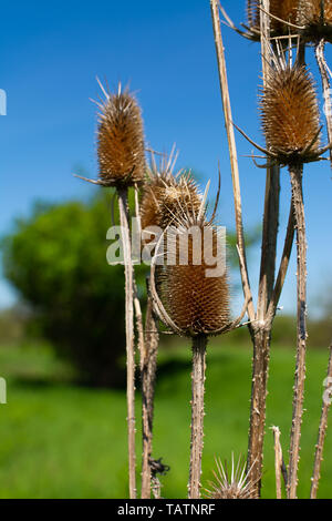 The invasive teasel with brilliant blue skies in the background.  Midewin National Tallgrass Prairie, Wilmington, Illinois - Stock Photo