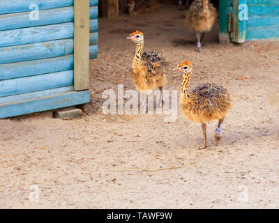 Little fluffy chicks ostrichs walking around the farm yard with curiosity. - Stock Photo