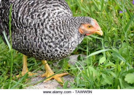 Speckled Hen Gallus Domestica Walking - Stock Photo