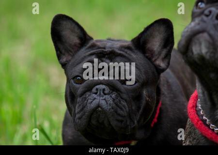 Young french bulldog close up. Pet animals. Purebred dog. - Stock Photo