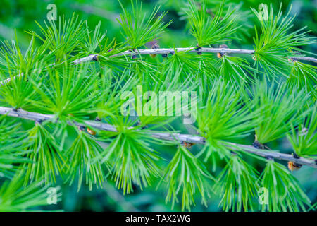 Bright green fluffy branches of larch tree Larix decidua Pendula in summer day. Natural beauty of elegant larch tree twig. Close-up branch of young la - Stock Photo
