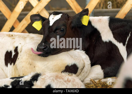 Cute holstein calf in the barn sticking iys tongue out - Stock Photo