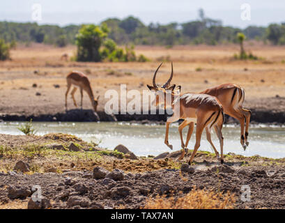 Impalas, Aepyceros melampus, jumping at waterhole hooves mid air.  Ol Pejeta Conservancy, Kenya, East Africa. Action movement African safari - Stock Photo