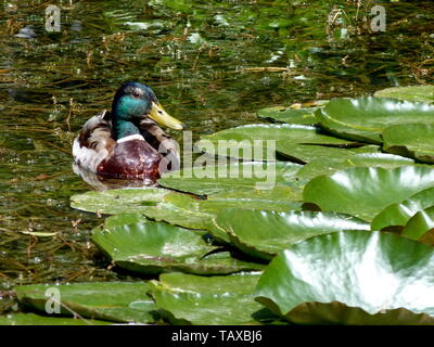 garden pond with lonely mallard in beautiful plumage - Stock Photo