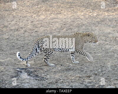 A beautiful African leopard on the move showing power and grace, Karongwe Game Reserve, Kruger National Park, South Africa. - Stock Photo