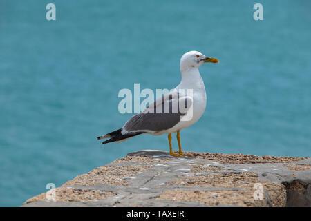 Seagull in Cadiz / Möwe in Cadiz, sitzend auf einem Feldblock der Stadtbefestigungsmauern. Sitting on a Rock of the Protection Wall of the City. - Stock Photo