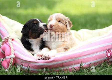 Australian Shepherd Puppies - Stock Photo