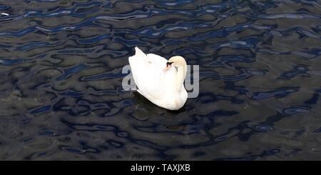 Beautiful couple of white swans on swimming a calm water surface - Stock Photo