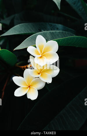 White and yellow Frangipani flower or Plumeria flowers blooming on tree in a tropical rainforest in Bali, Indonesia after a rain shower. - Stock Photo