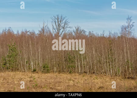 Winter birch forest in Kalmthout heat, flanders, on a sunny day. - Stock Photo