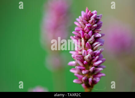 Macro photography of a beautiful smartweed flower, captured at the Andean mountains of central Colombia. - Stock Photo