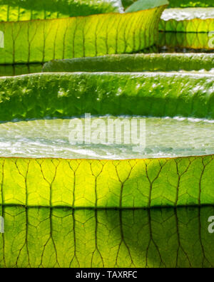 Santa Cruz water lily / water platter / yrupe (Victoria cruziana) giant floating leaves, native to South America - Stock Photo