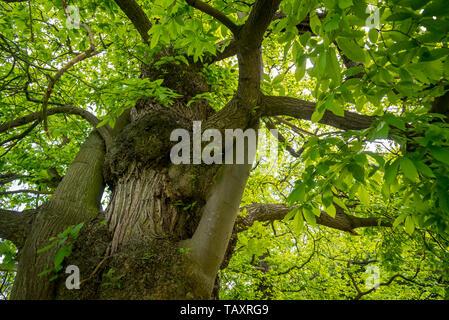 Sweet chestnut (Castanea sativa) close-up of tree trunk and foliage - Stock Photo