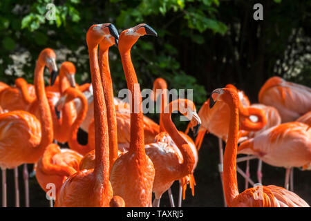 American flamingo / Cuban flamingo / Caribbean flamingo (Phoenicopterus ruber) flock - Stock Photo