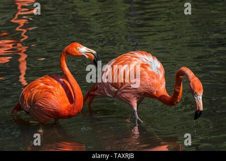 Two American flamingos / Cuban flamingos / Caribbean flamingos (Phoenicopterus ruber) foraging in pond - Stock Photo