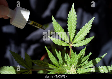 Cannabis plant with CBD oil dropper, next to cannabis leaf - Stock Photo
