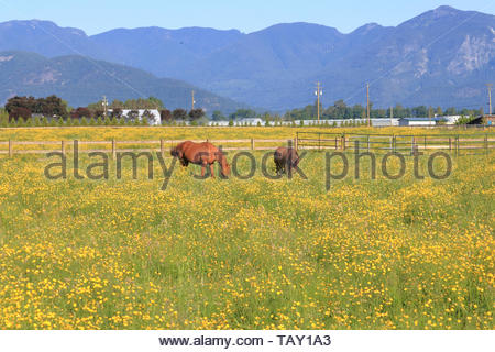 Wide view of beautiful brown horses grazing in the pasture surrounded by lush green summer grass and yellow hop clover flowers. - Stock Photo