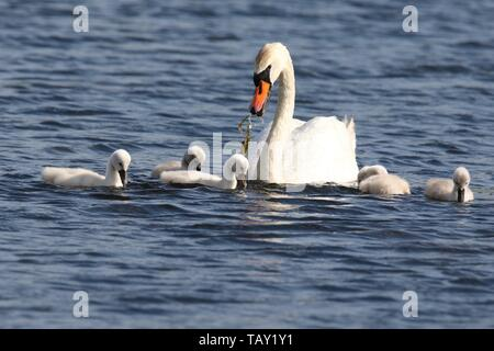 A mute swan Cygnus olor with cygnets swimming on a blue lake in Spring the parent swan is feeding the cygnets - Stock Photo