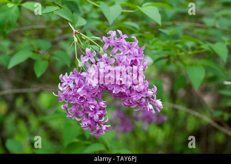 Beautiful lilac flowers blooming right before sunset or after sunrise - Stock Photo