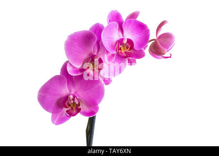 Beautiful orchid purple flowers isolated on white background. - Stock Photo