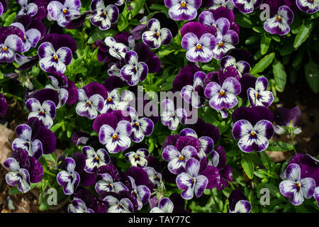 Colourful Pansy Flowers in Spring - Stock Photo