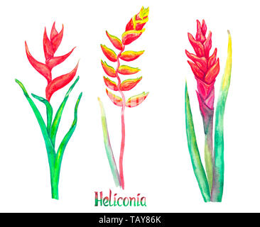 Heliconia caribaea, red forms and Heliconia rostrata (hanging lobster claw, false bird of paradise) isolated on white hand painted watercolor illustra - Stock Photo