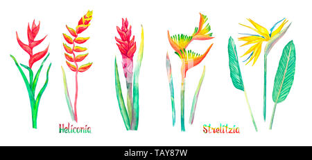 Strelitzia (bird of paradise, crane lily) and Heliconia flowers set, red form isolated on white hand painted watercolor illustration with handwritten  - Stock Photo