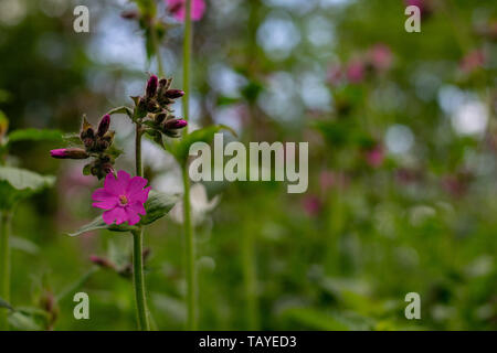 Wild Pink Campion growing in a woodland setting in full flower in the spring month of May - Stock Photo