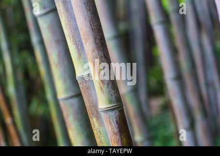 front view closeup with shallow depth of field of bamboo forest with natural texture - Stock Photo