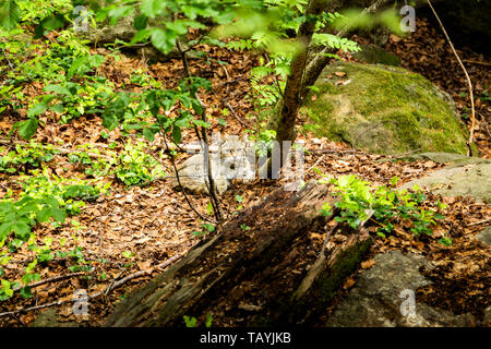 European Wildcat, Felis silvestris, in european summer forest. Typical environment. Europe. - Stock Photo